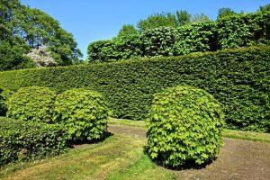 Aanplanten en snoeien van de Japanse hulst